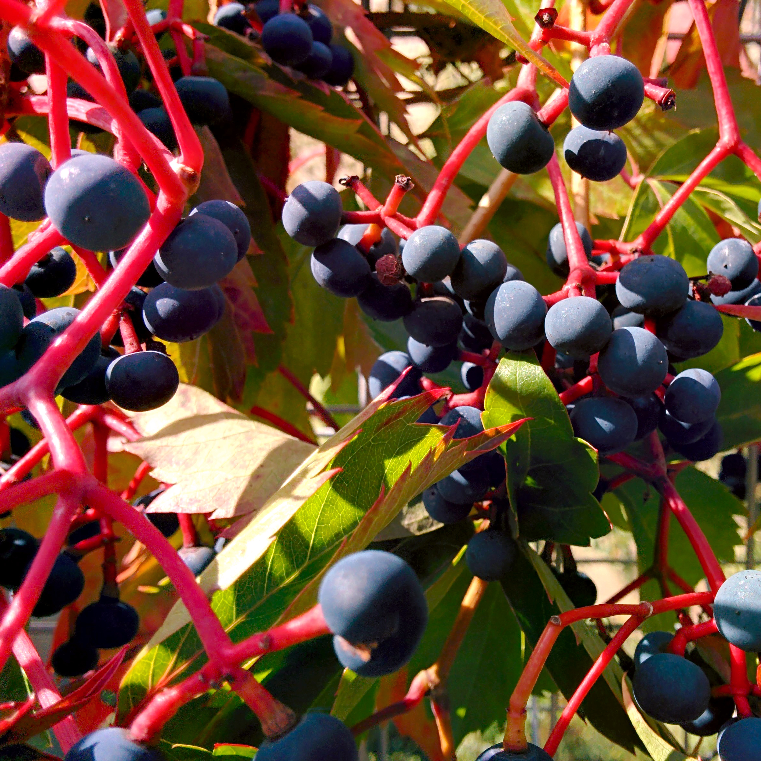 Berries on Fence