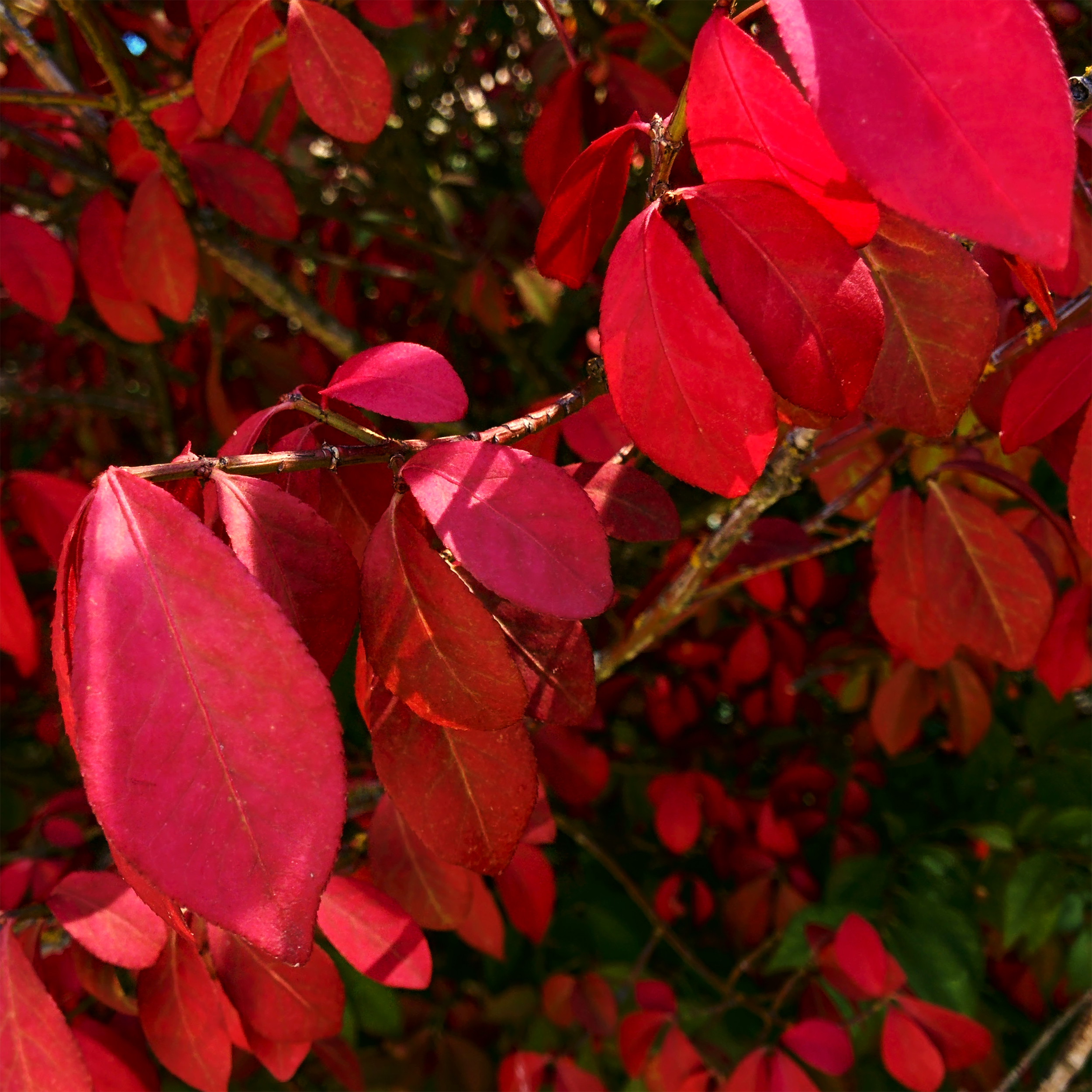 Red Leaves on Plant