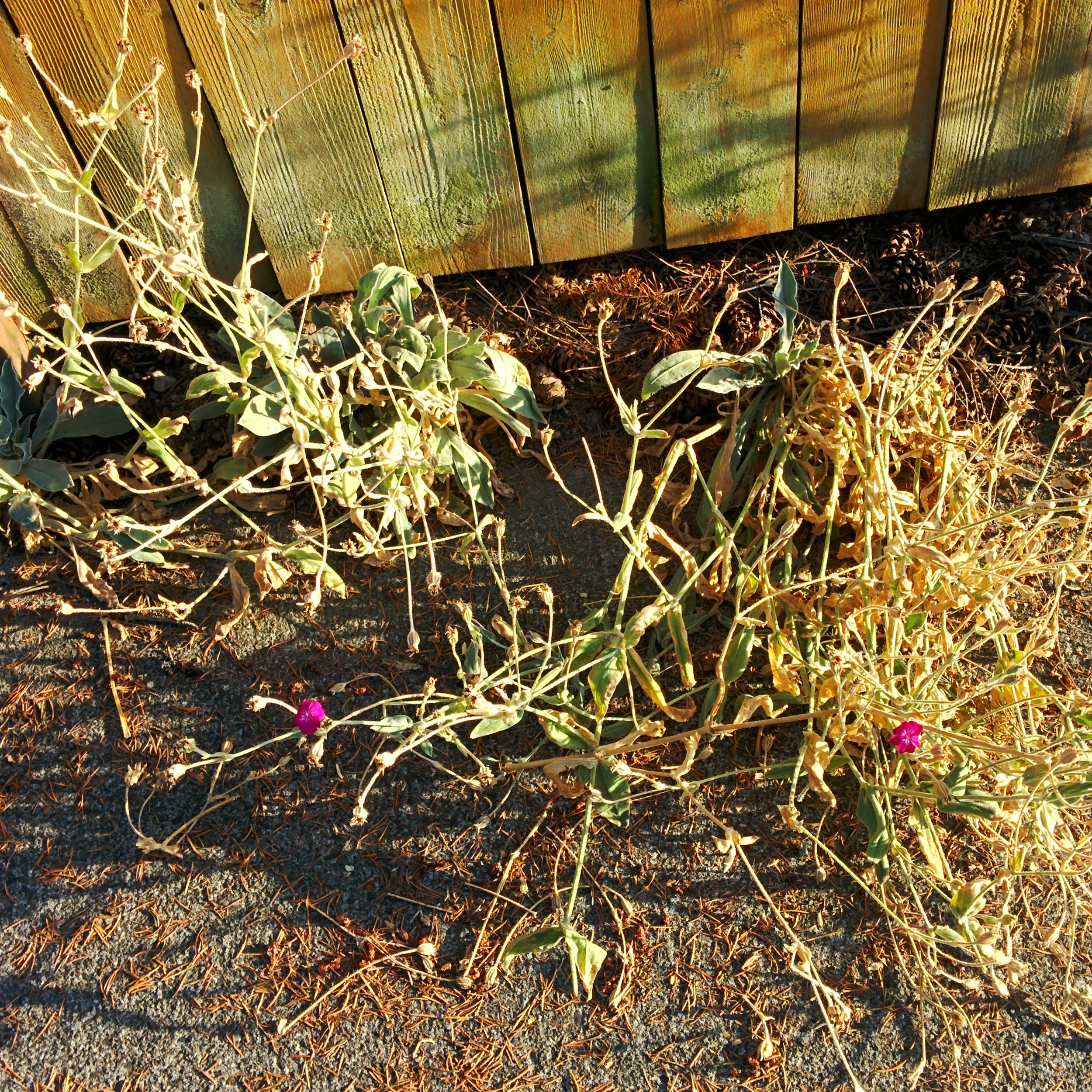 Weeds Drying by Fence