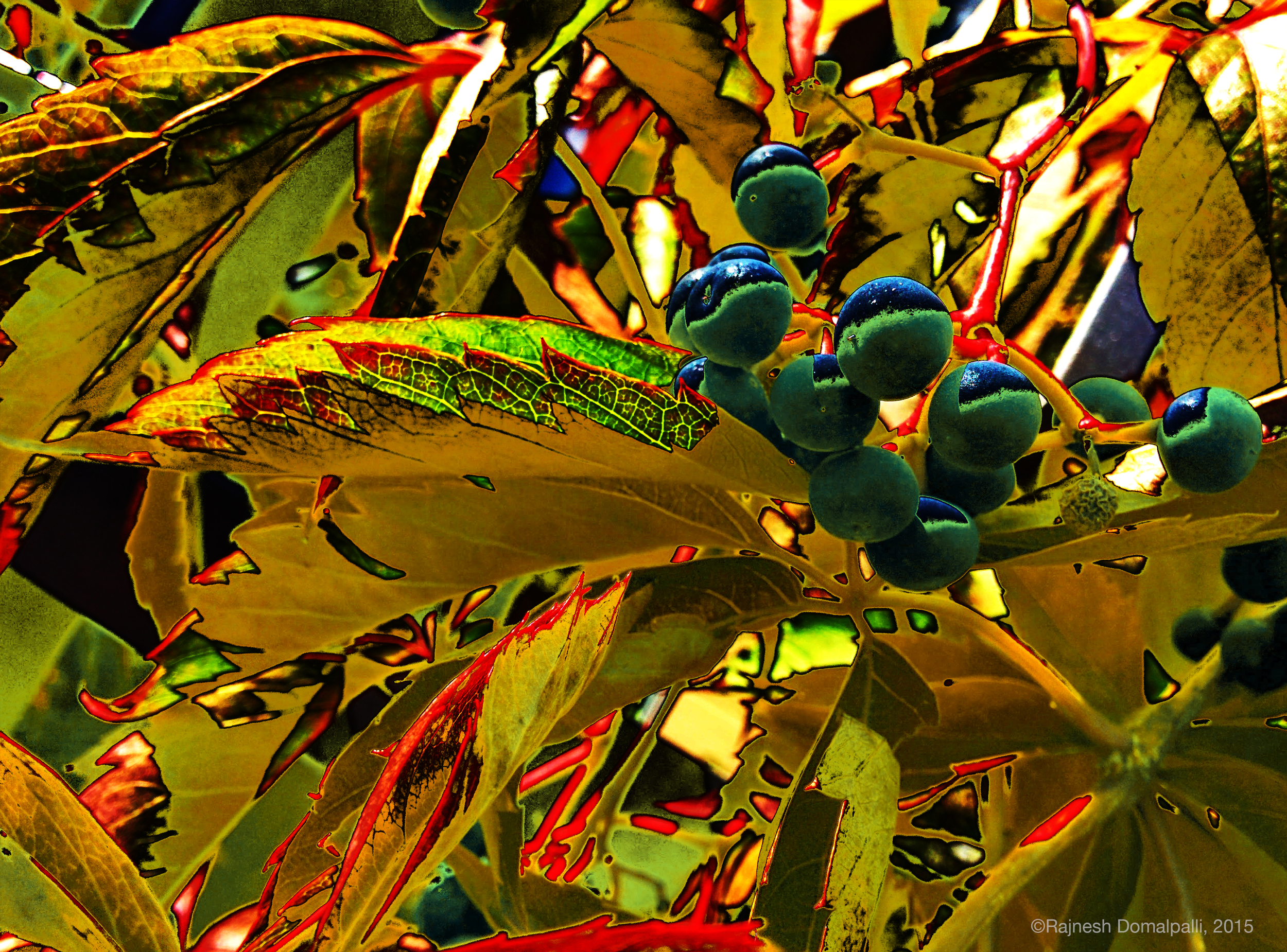 Blue Green Berries on Vine