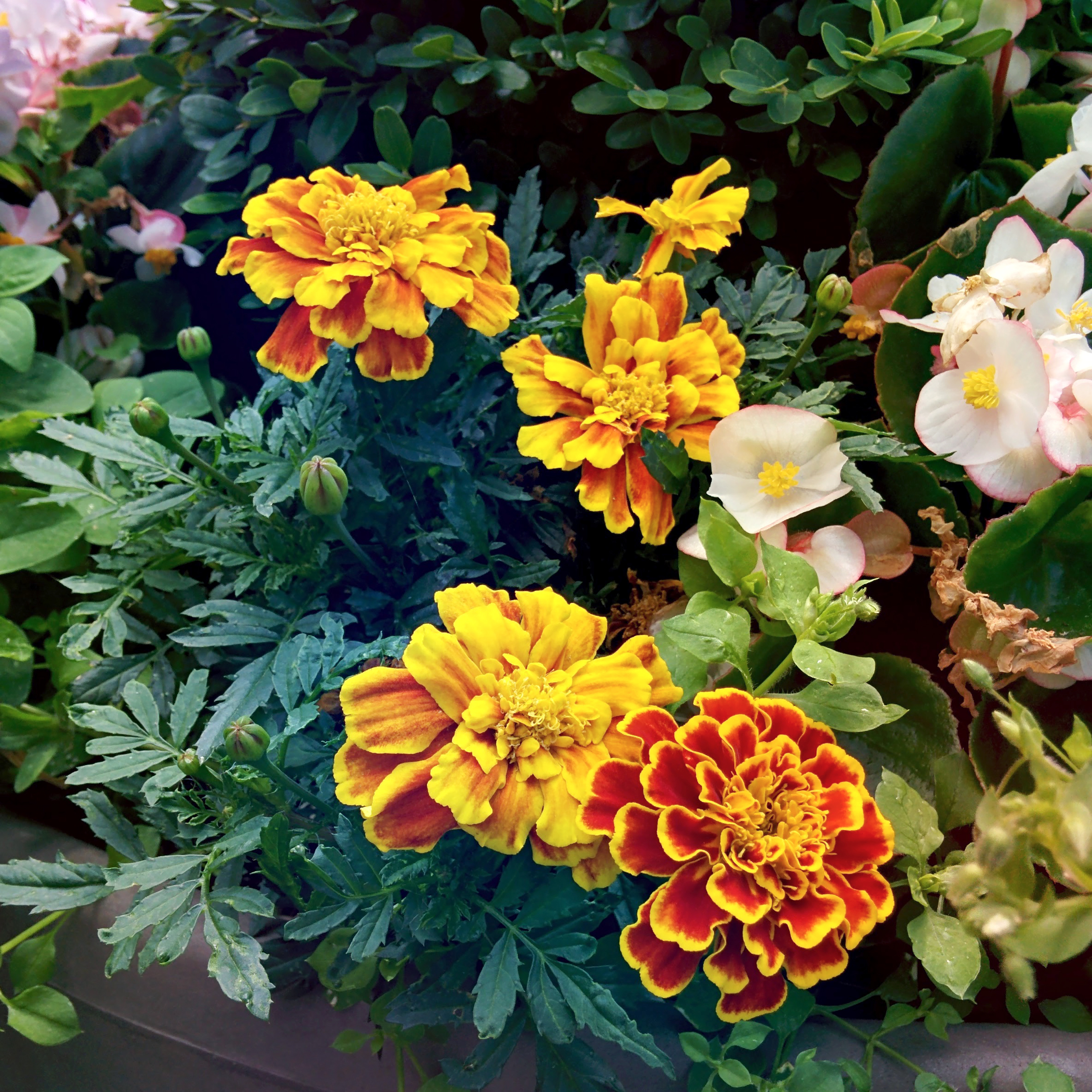 Marigolds and Begonias