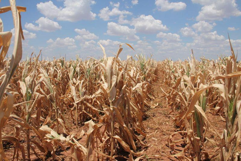 drought_corn.jpg