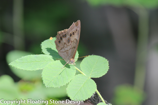 Northern Butterfly