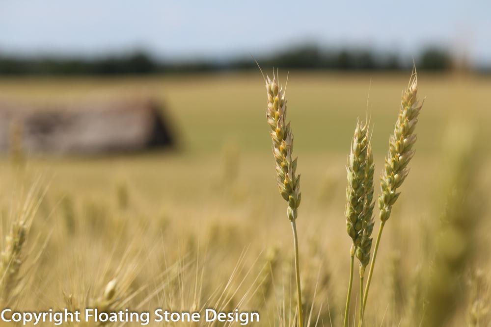 Summer Wheat #1