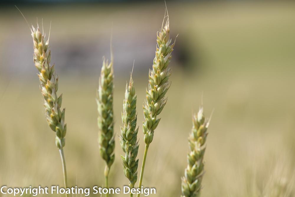 Summer Wheat #3