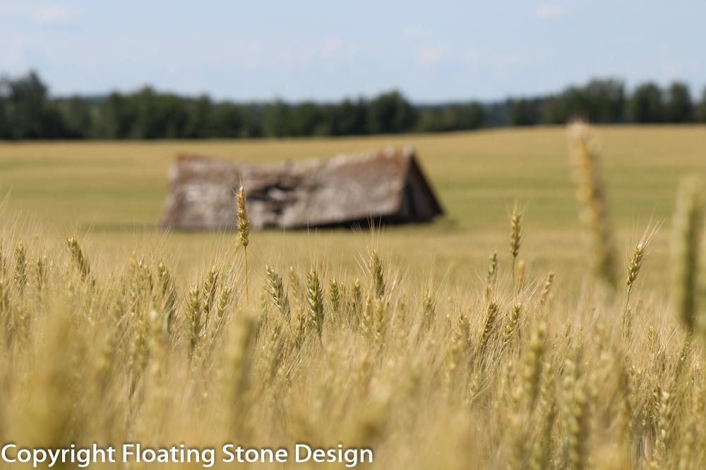 Summer Wheat #2