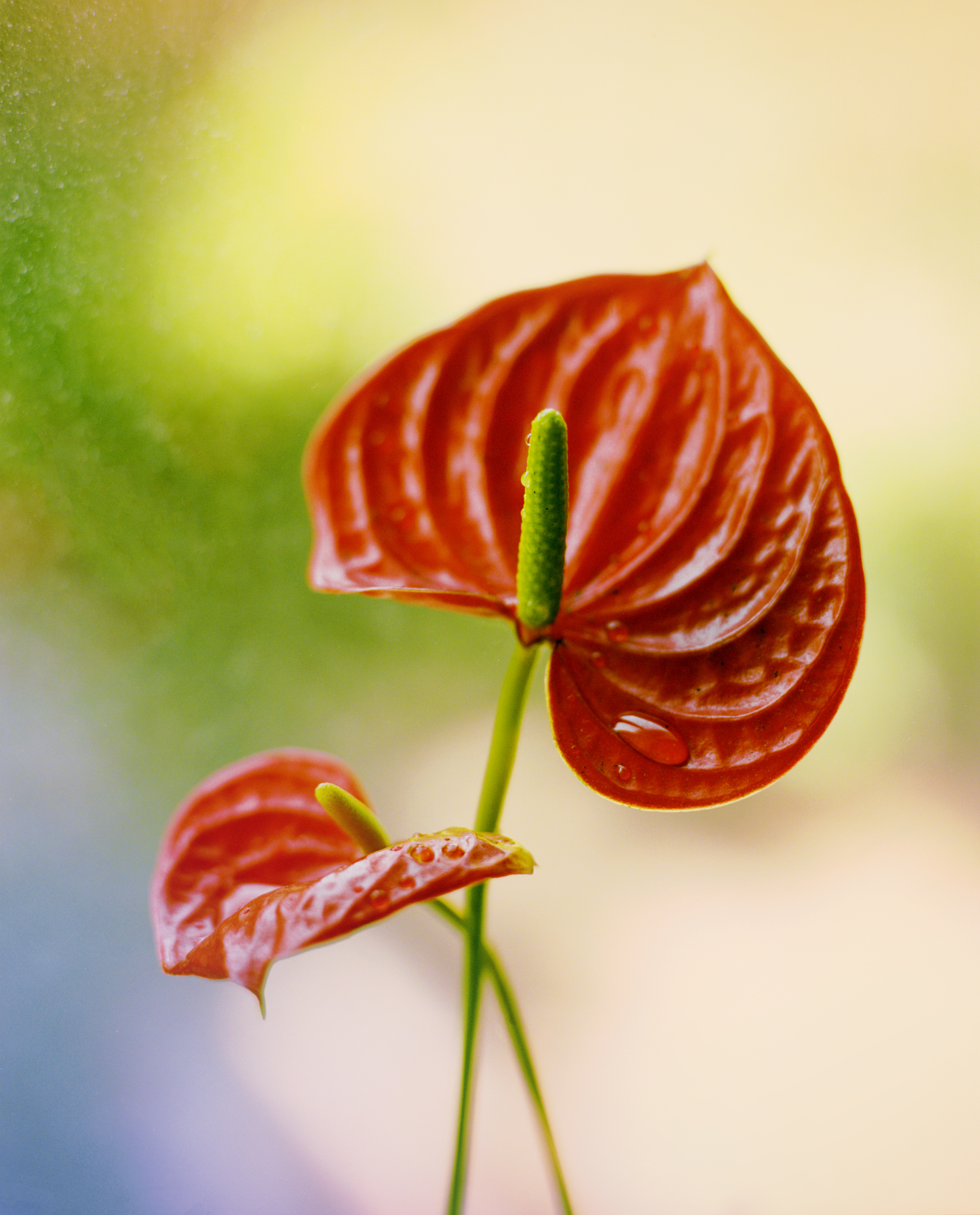 Untitled (Anthurium).jpg