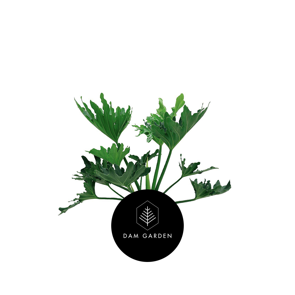 Filodendro Paraguayo - (Philodendron Bipinnatifidum)Altura: 0,5 mts.Exposición solar: Baja.Planta de Interior.Riego cada 5 días.$ (No disponible)