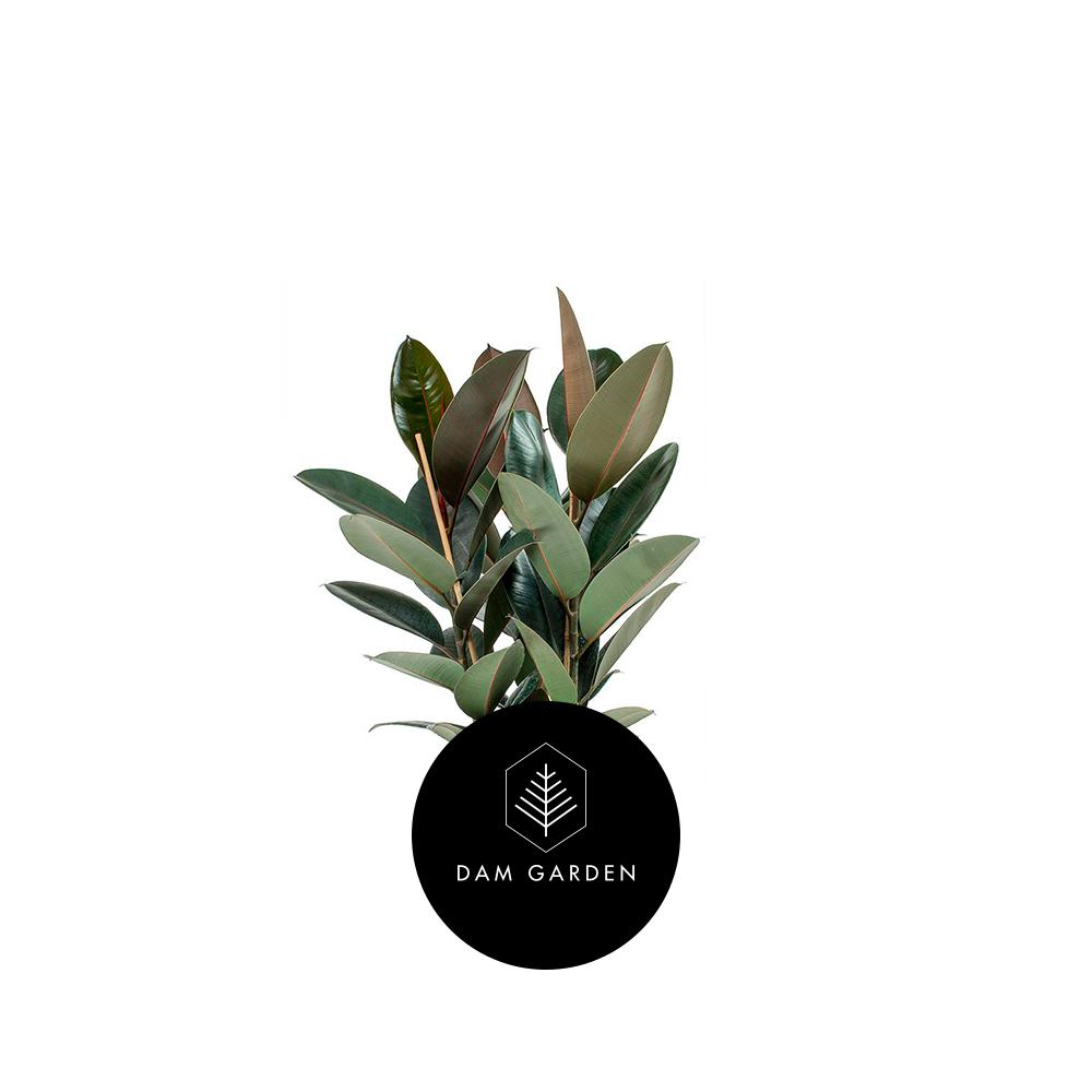 Gomero - (Ficus Elastica)Altura: 0,5 mts.Exposición solar: Media.Planta de ixterior.Riego cada 5 días.$ 5.000 CLP
