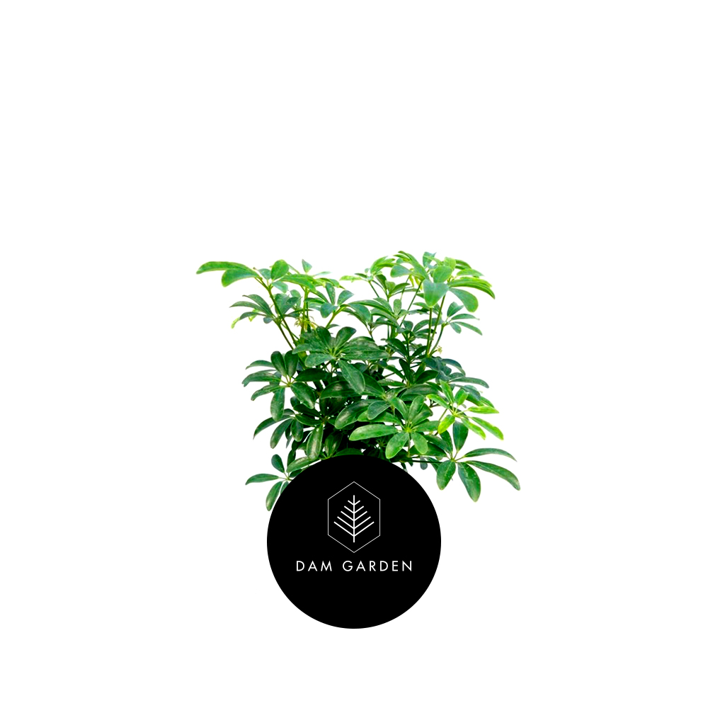 Cheflera - (Schefflera Actinophylla)Altura: 0,5 mts.Exposición solar: Baja.Planta de exterior.Riego cada 5 días.$ 7.000 CLP