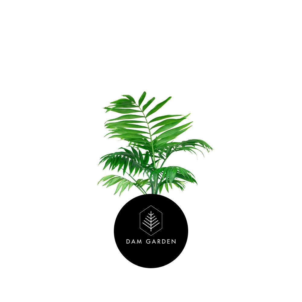 Palmera Elegante - (Chamaedorea Elegans)Altura: 0,4 mts.Exposición solar: Baja.Planta de interior.Riego cada 5 días.$ 5.000 CLP