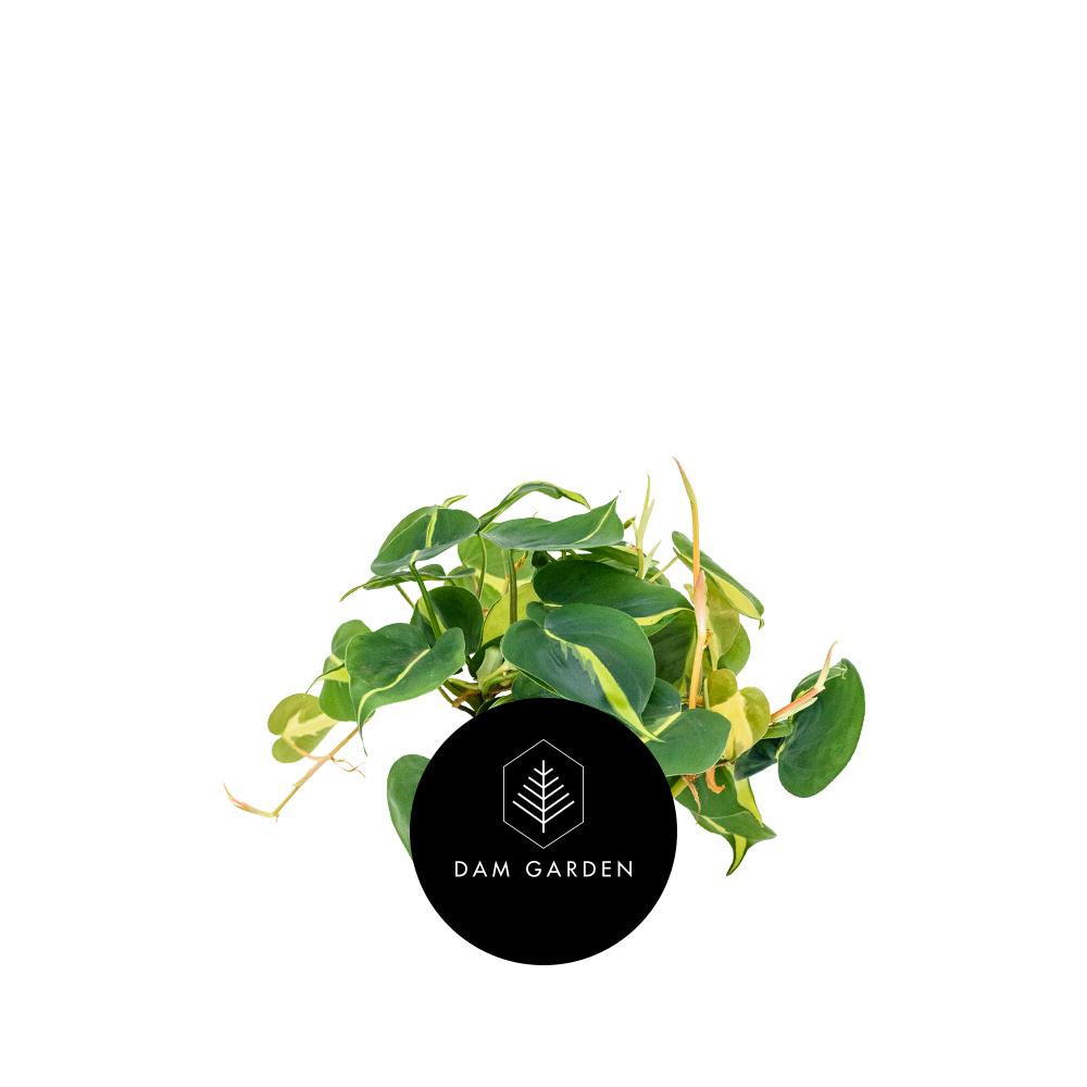 Filodendro Trepador - (Philodendron Scandens)Altura: 0,5 mts.Exposición solar: Baja.Planta de Interior.Riego cada 5 días.$ 5.000 CLP
