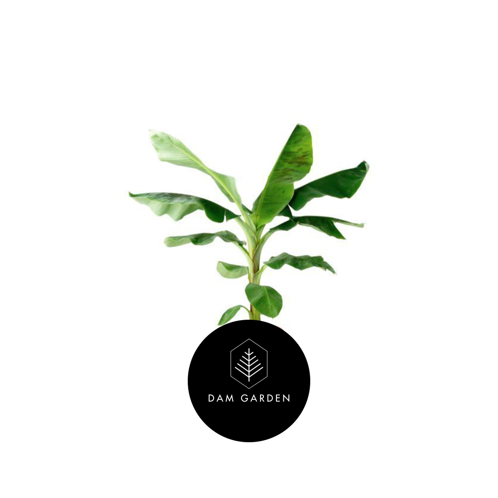 Plátano - (Musa x Paradisiaca)Altura: 1 metro.Exposición solar: Alta.Planta de exterior.Riego cada 5 días.$ 37.000 CLP