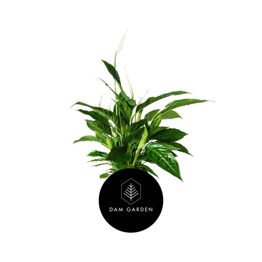 Bandera Blanca - (Spathiphyllum Wallisii)Altura: 0,3 mts.Exposición solar: Media.Planta de Interior.Riego cada 5 días.$ 4.000 CLP