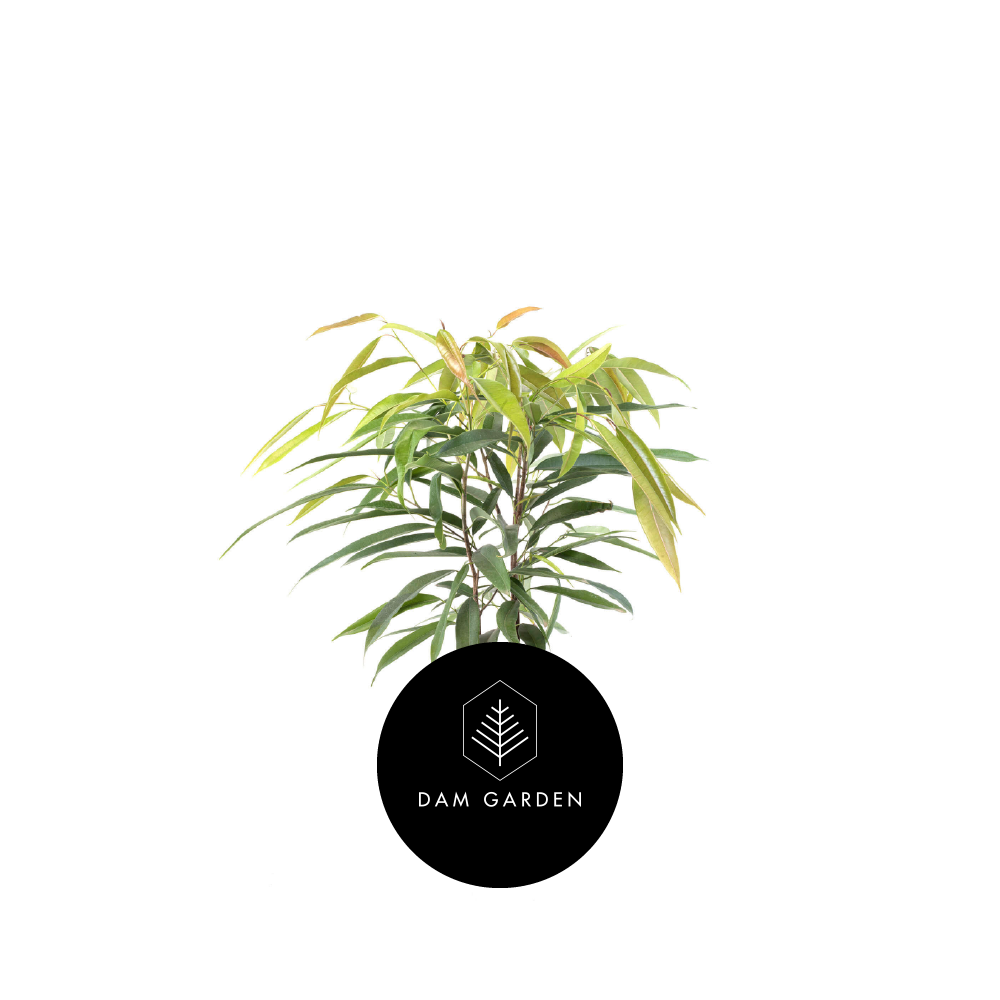 Ficus Alli - (Ficus Binnendijkii)Altura: 0,8 mts.Exposición solar: Media.Planta de interior.Riego cada 5 días.$ 12.000 CLP