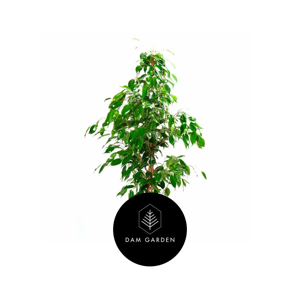 Ficus Tradicional - (Ficus Bejamina)Altura: 0,3 mts.Exposición solar: Media.Planta de Interior.Riego cada 5 días.$ 5.000 CLP