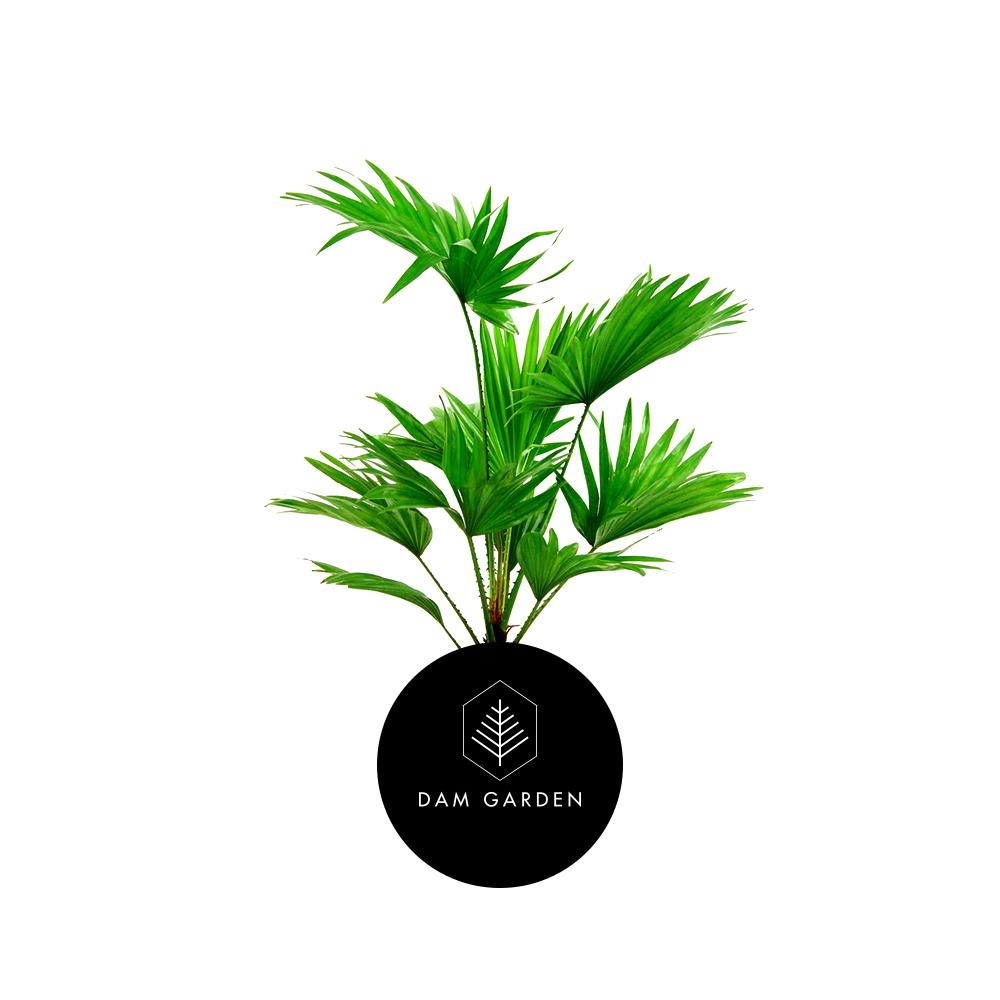 Palmera Abanico - (Palmera Washingtonia)Altura: 0,3 mts.Exposición solar: Media.Planta de Interior.Riego cada 5 días.$ 8.000 CLP