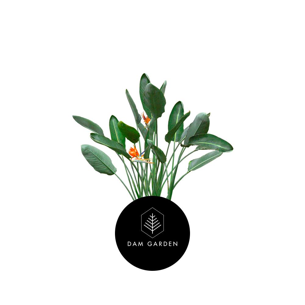 StrelitziaRegiane - (Strelitzia Reginae)Altura: 1 mts.Exposición solar: Media.Planta de exterior.Riego cada 5 días.$ (No disponible)