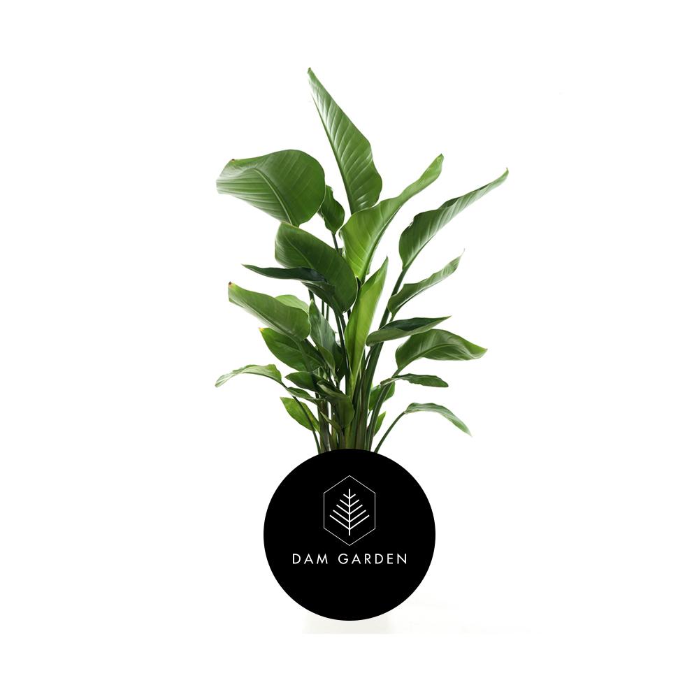 Strelitzia Nicolai - (Strelitzia Nicolai)Altura: 1 mts.Exposición solar: Media.Planta de exterior.Riego cada 5 días.$ (No disponible)