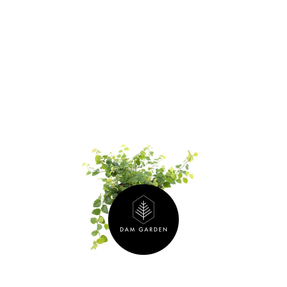 Ficus Repens - (Ficus Pumila)Altura: 0,8 mts.Ubicación ideal: Exterior en semi-sombra.Riego: Moderado / 2 veces x sem.$ (No disponible)