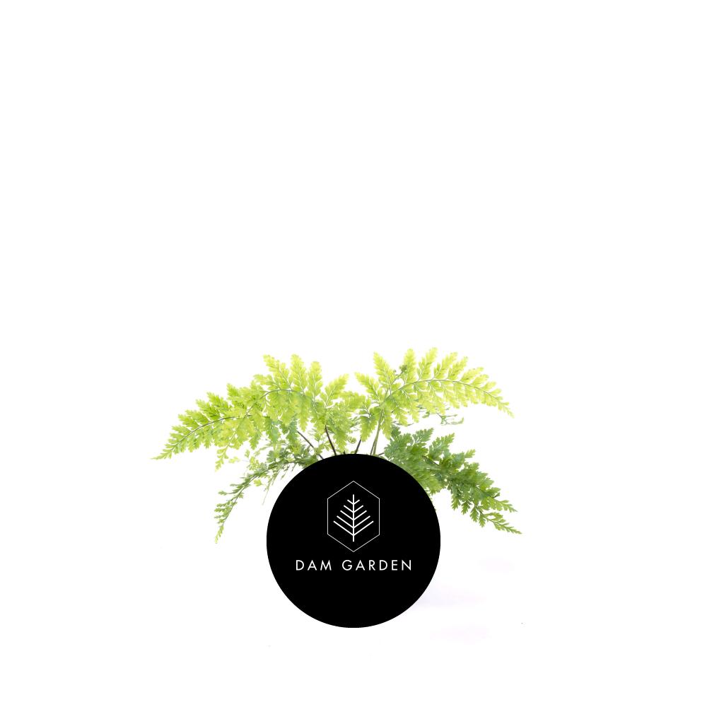 Helecho Peregil - (Asplenium viviparum)Altura: 0,5 mts.Ubicación ideal: Interior en semisombra.Riego: Moderado / 3 veces x sem.$ 4.000 CLP