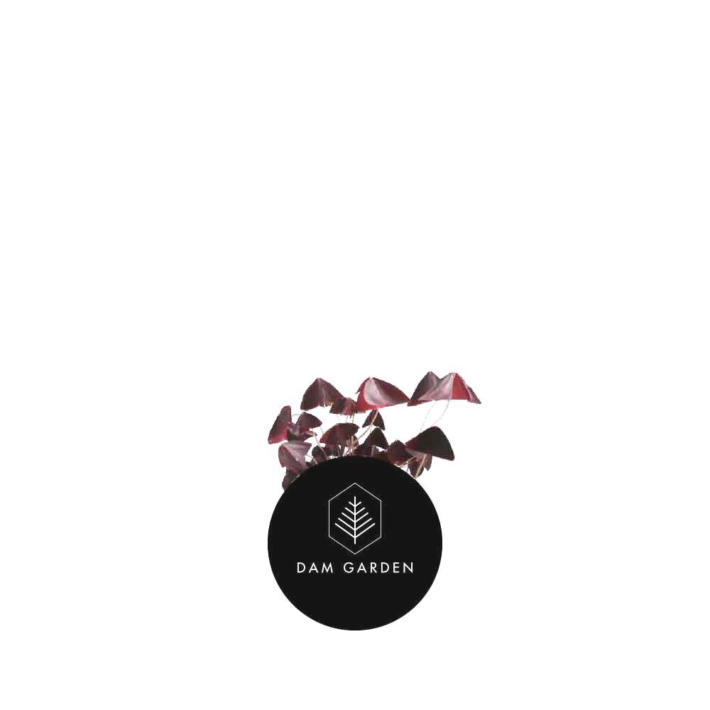 Trébol Morado - (Oxalis Triangularis)Altura: 0,2 mts.Ubicación ideal: Interior, semisombra.Riego: Moderado / 2 veces x sem.$ (No disponible)