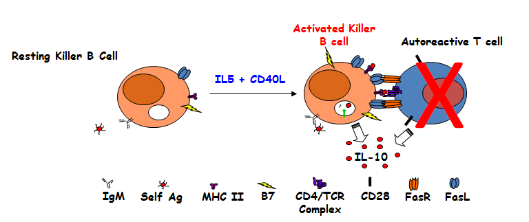 Cartoon of Killer/Regulatory B Cell Interaction with an Autoreactive Th Cell