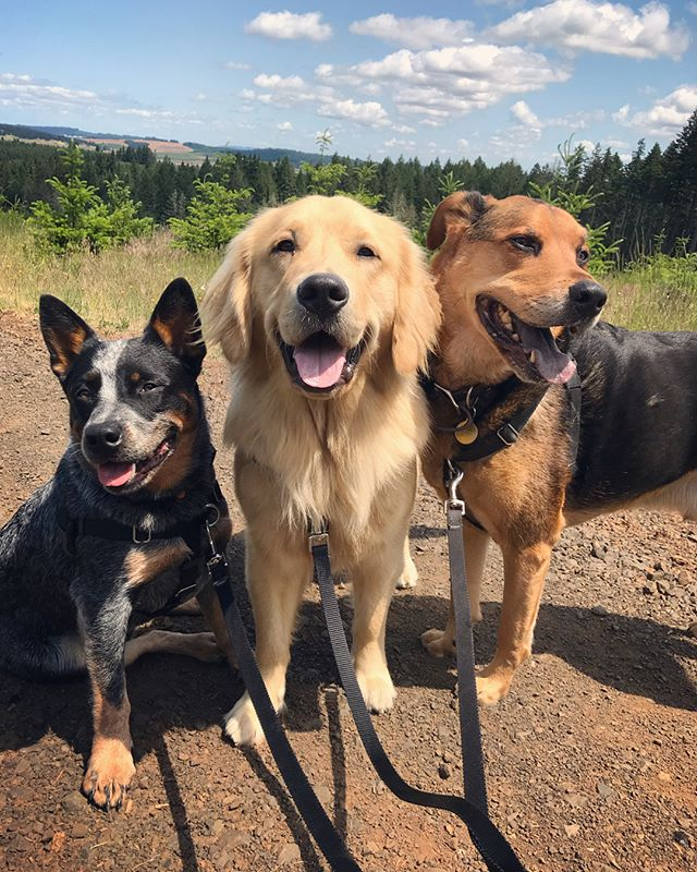 Can you picture your dog here?! We have a couple open spots in our Hiking Hounds program and would love for your dog to become part of our family! We offer hikes Monday- Friday, 2x a day for 45 - 90 mins. Our on-leash hikes are open to dogs of all breeds, age and size. Our smallest hiker is 6lbs and largest is 110lbs. Youngest is 6 months and oldest is 12 years. Hiking Hounds is run by dog trainers and dogs are grouped together based on temperament to ensure a fun hike for everyone! Check out our website for more info and send a pm or fill our our submission form to get set up!  #blueheeler #blueheelerlove #goldenretriever #muttskickbutt #seniordogsrule #pnwdogs #oregondogs #willamettevalley #corvallisdogrunner #corvallis #philomath #packwalk #corvallisor #adairvillage