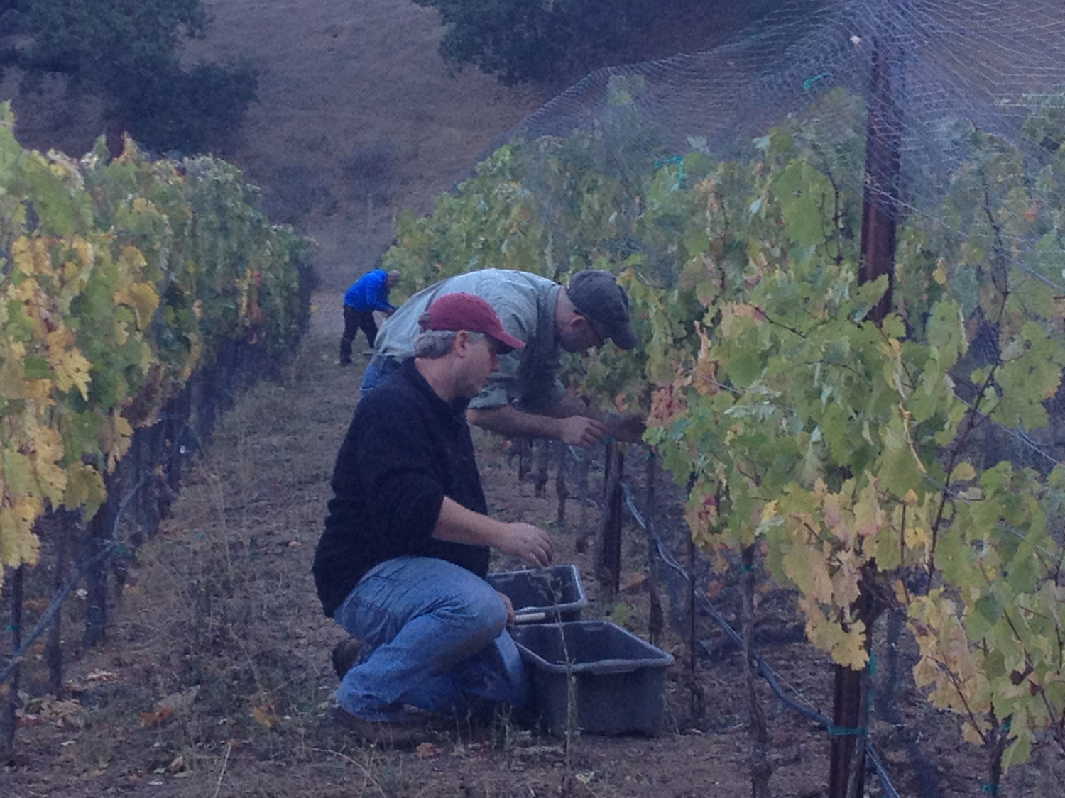 Wayne and crew harvesting our first vintage