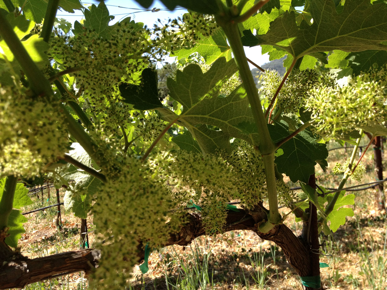 The Meanmouth Cabernet grapes in full blossom stage