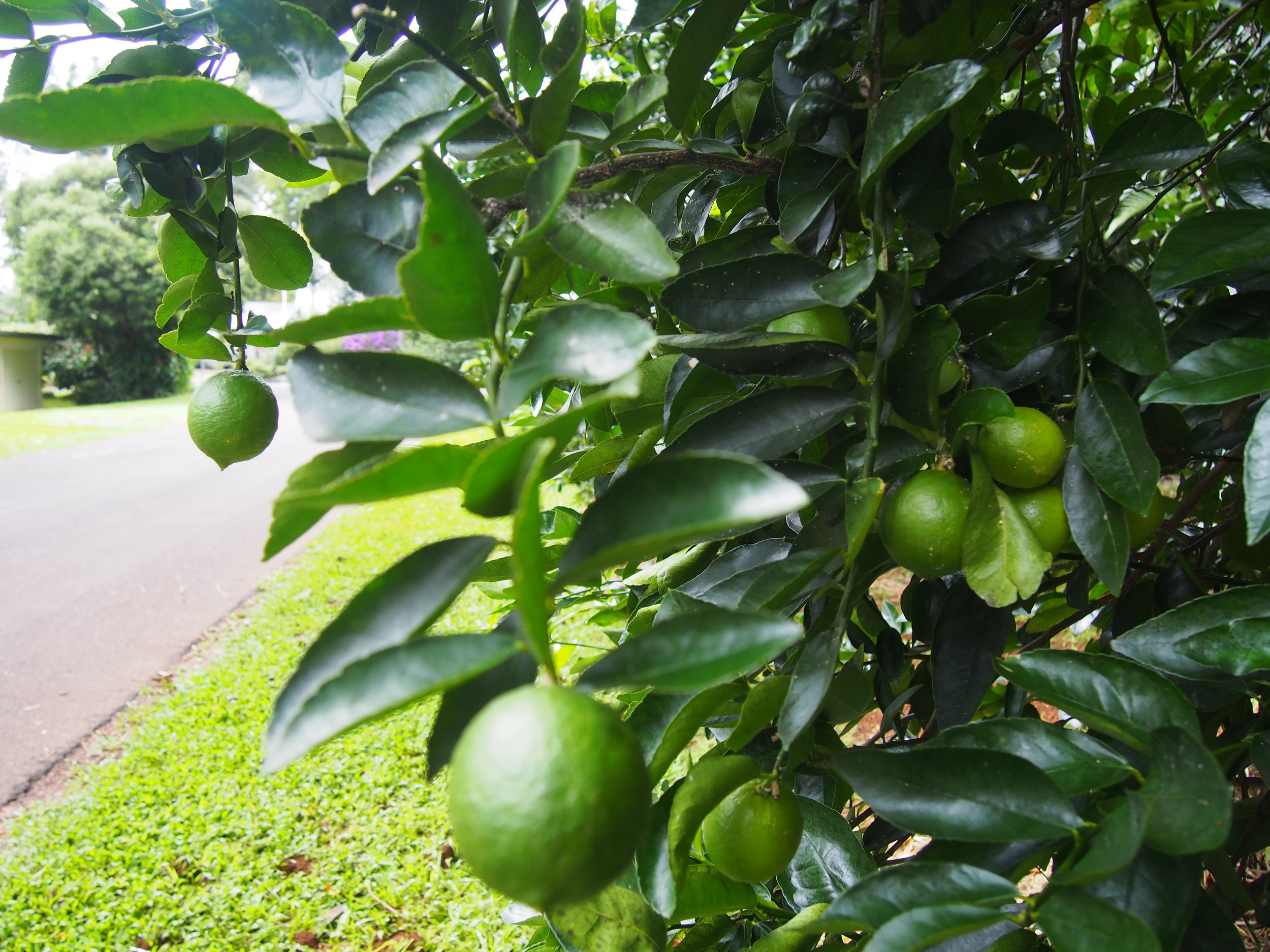 Plump and juicy verge grown limes ready to eat.