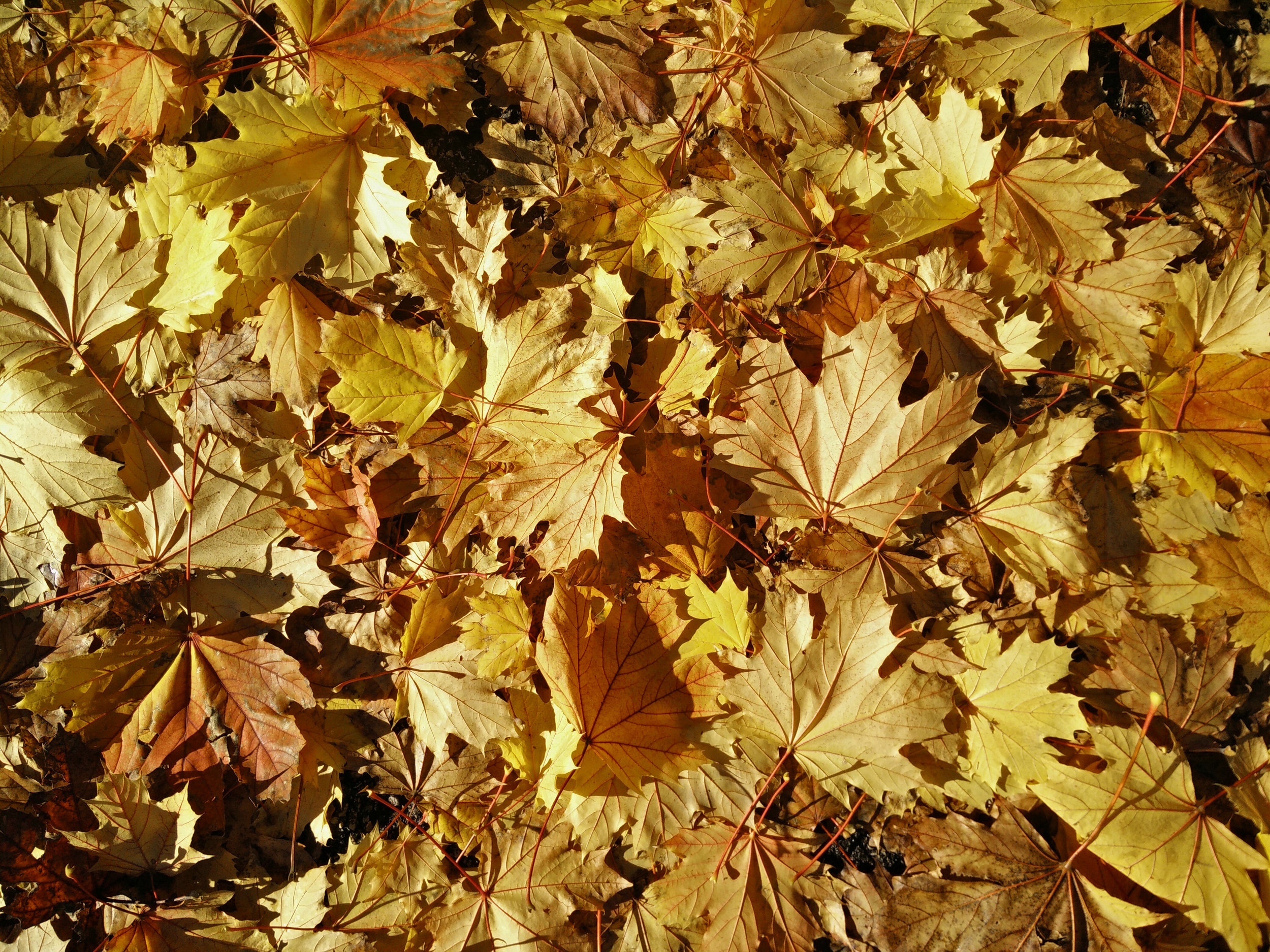 Fall leaves in a pile.