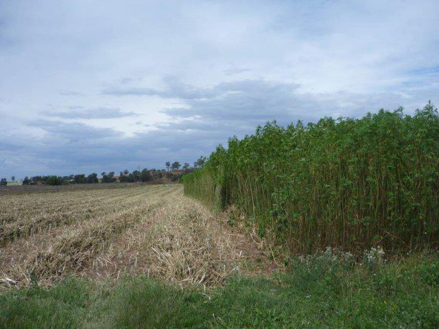 Growing hemp in Holland - image courtesy of Hempcrete.com.au