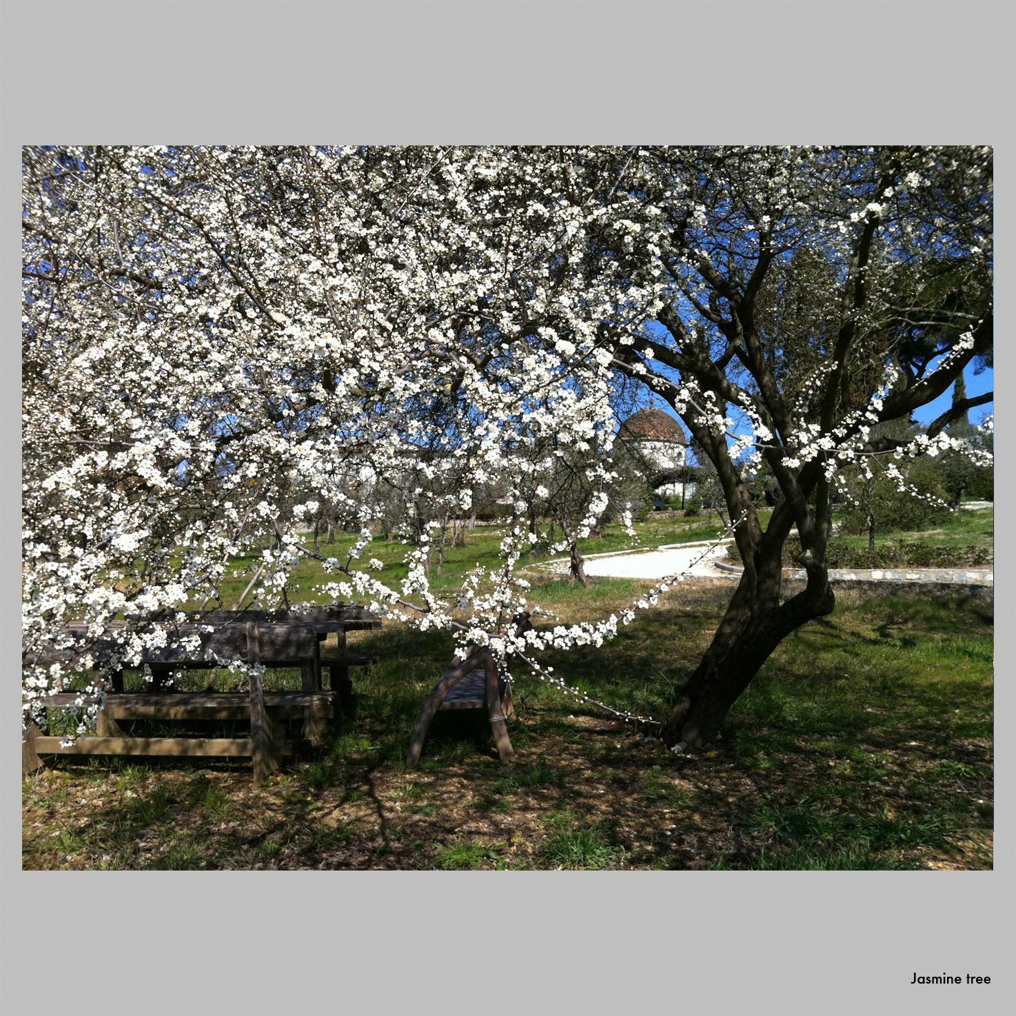 Jasmine tree.jpg