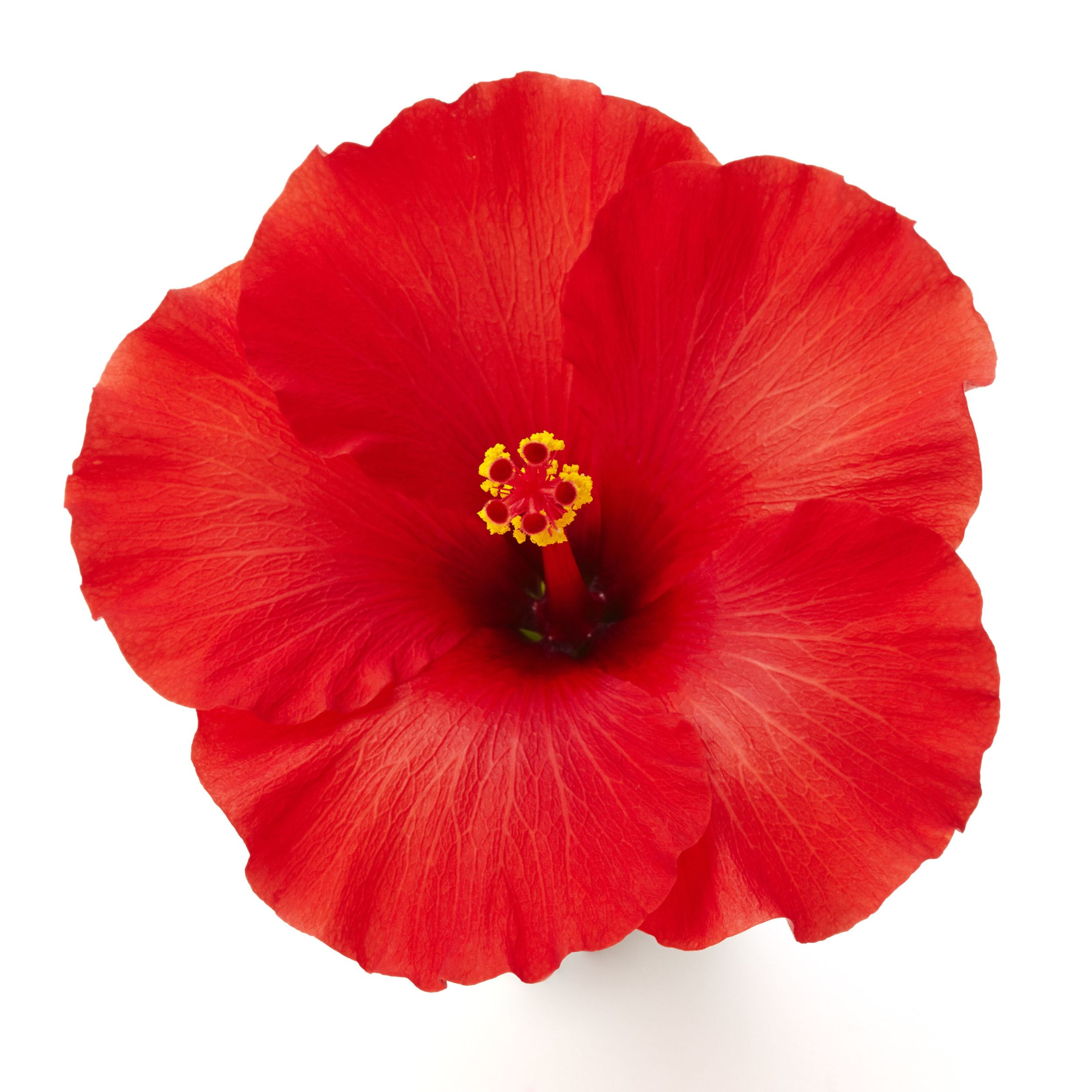 Afrodite Red