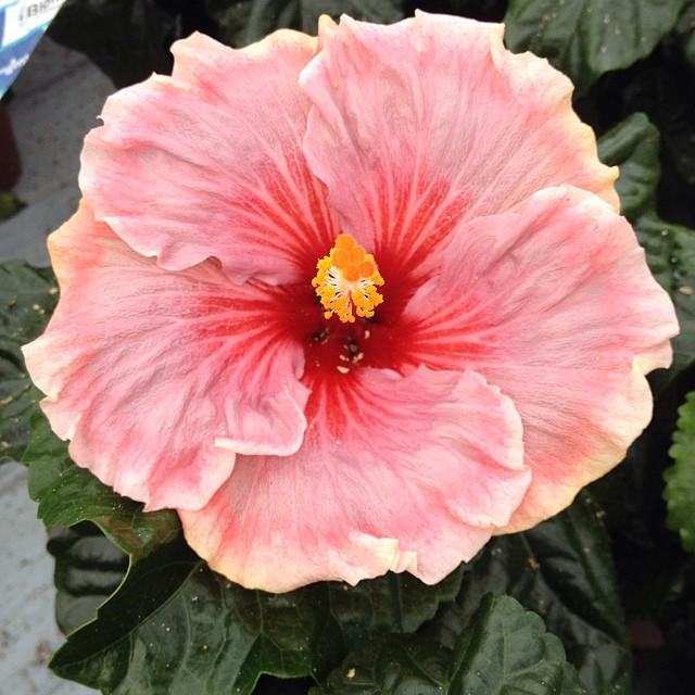 #hibisqs #hibiscus #new #summer #flower #graff