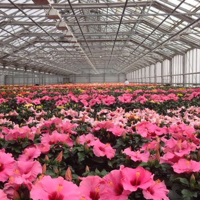 Spring has arrived in our greenhouses and all the hibiscus is ready to color up your home! 🌺 #hibisqs#colorup#hibisqs#graff#spring#flower#greenhouse