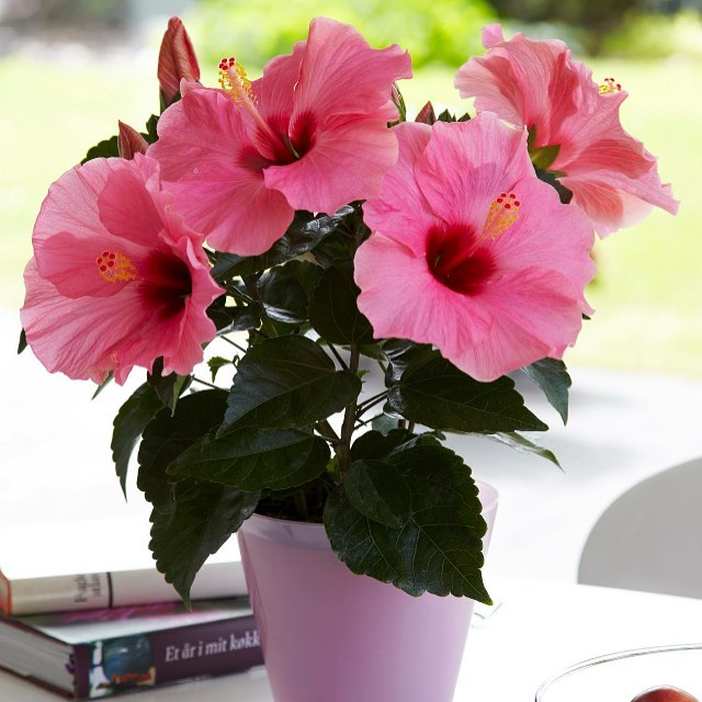 Remember HibisQs is the best gift for mothersday, it keeps blooming all summer! 🌺 #hibisqs#hibiscus#graff#inspiration#mothersday#gift#flower