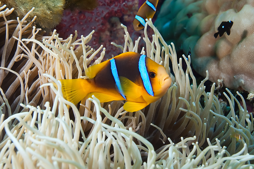 By adding artificial light from strobes, the color of underwater subjects can be brought back from the color diffusion of water. Anemonefish, Vanua Levu, Fiji.