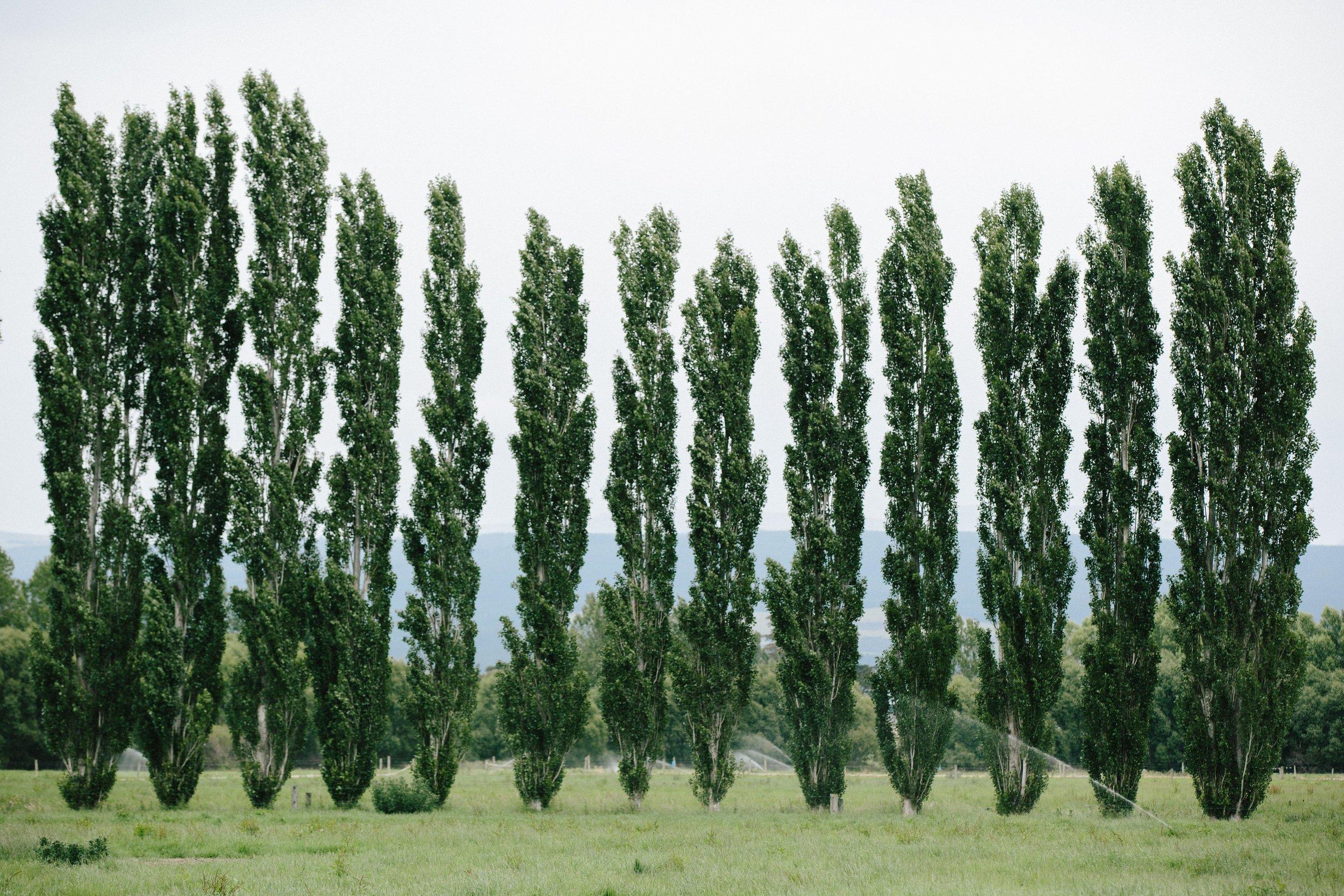 New Zealand-Landscape-Tall-Trees.jpg