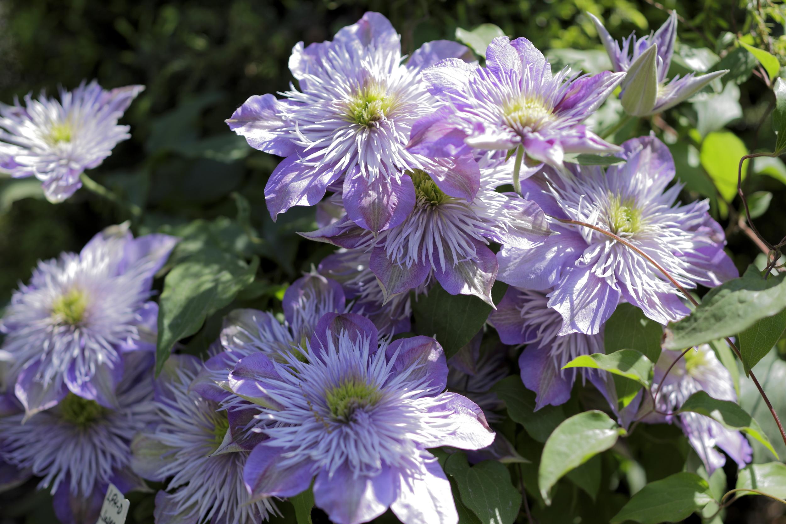 C.  'Fairy Blue'  CRYSTAL FOUNTAIN