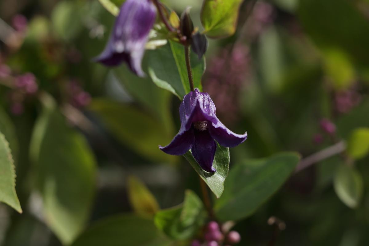 C. integrifolia  seedling in Test Garden