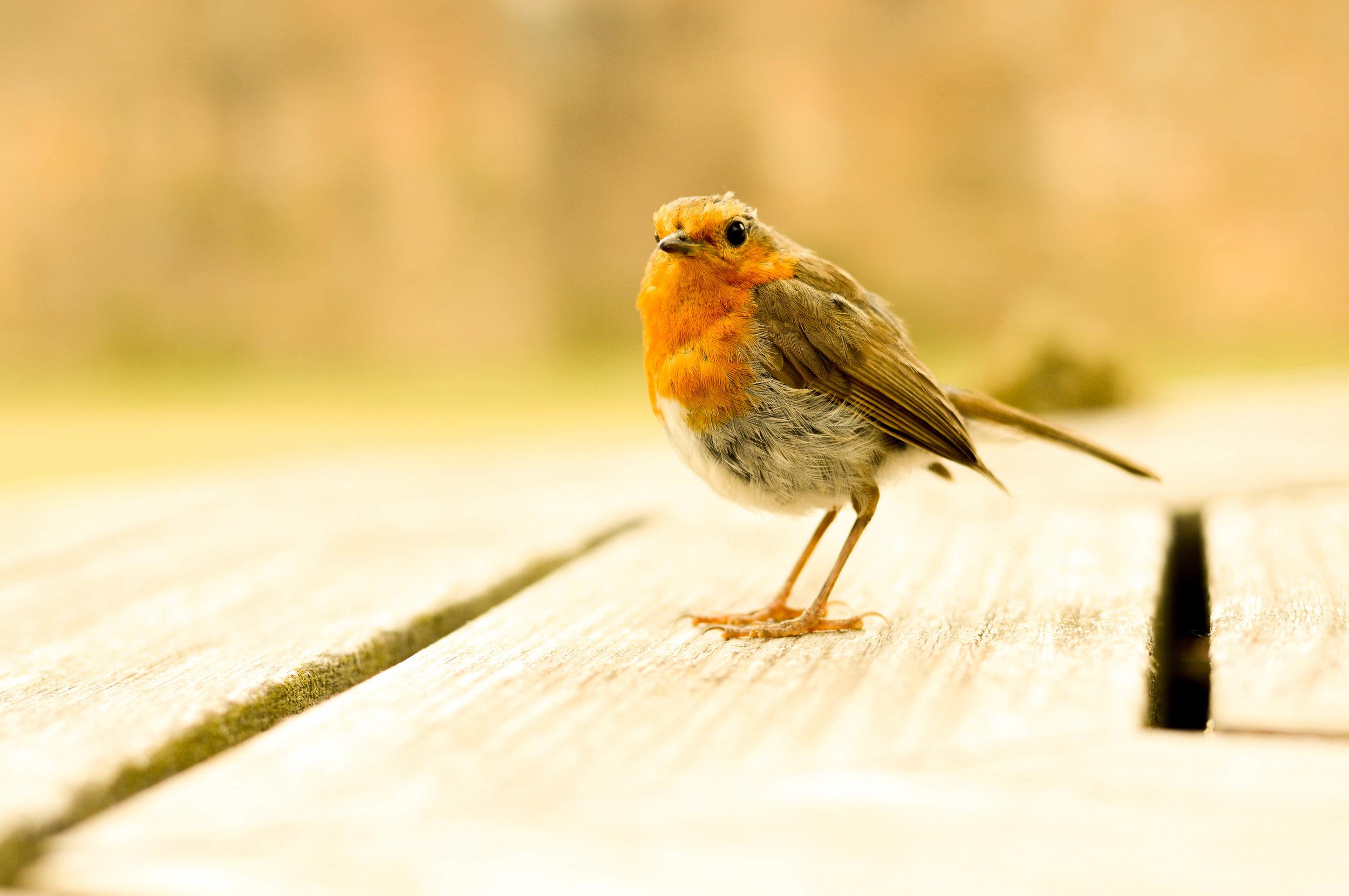 The friendliest Robin.