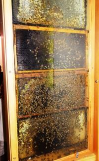 Honeybees on hand