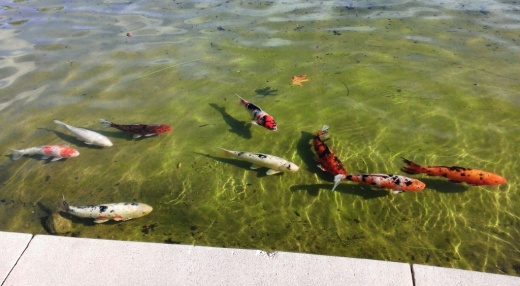 We like the koi at The Lakes. They're cool to watch. But we don't feed them as cute as they are as they are obviously well fed!