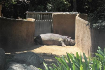 Hippo relaxing at the Los Angeles Zoo