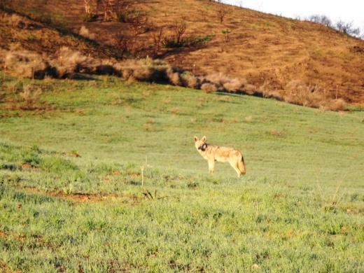 Coyote6_2014.JPG