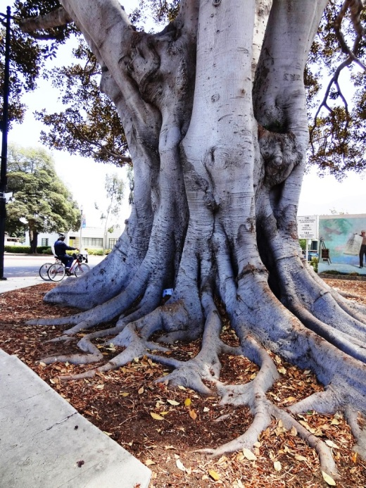 This majestic Moreton Bay Fig Tree is over 130 years old and looking great.