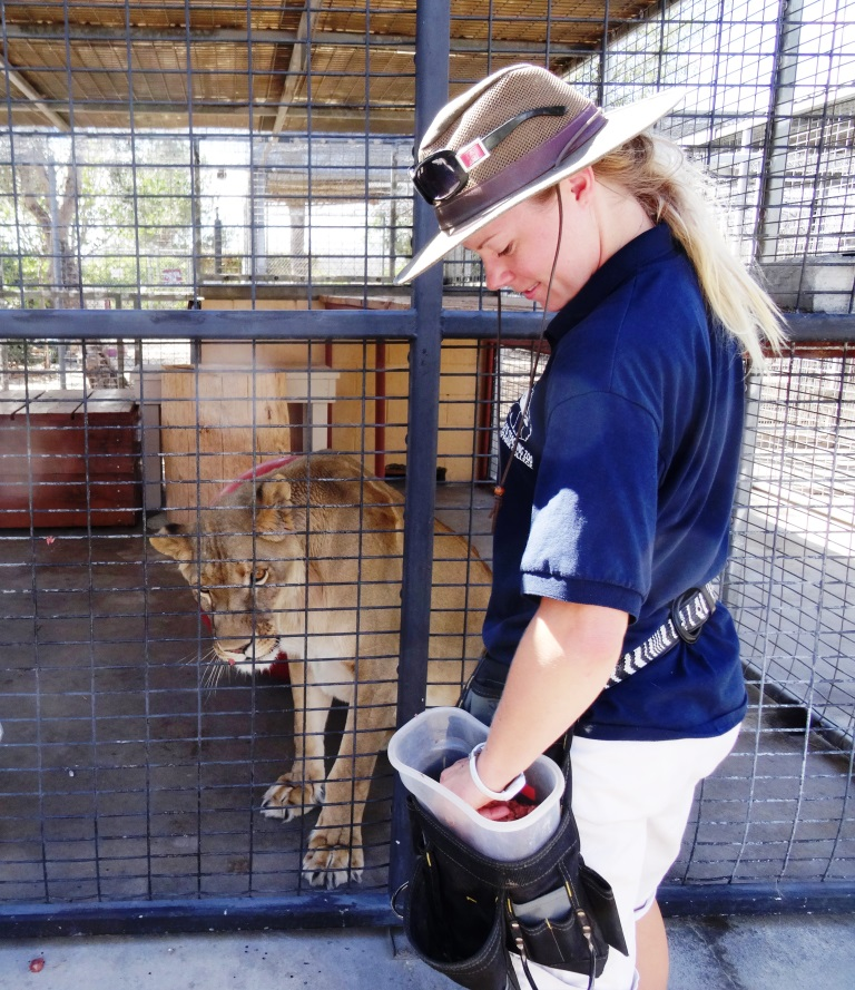 A zoo volunteer feeding the lion.