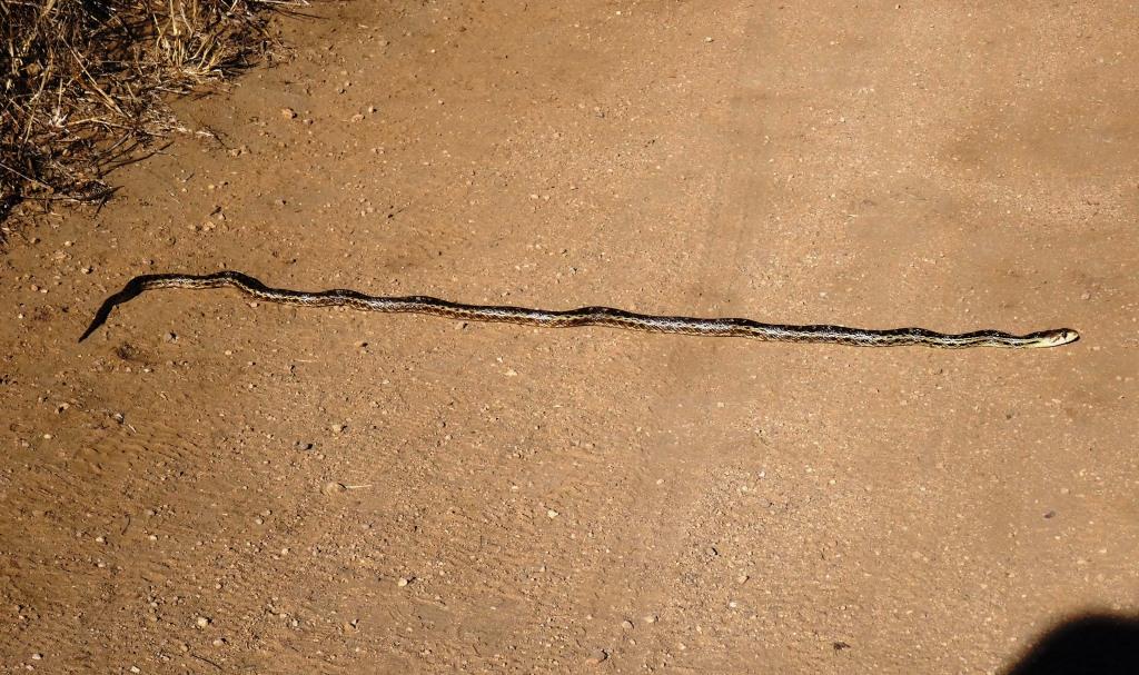Gopher snake crossing the trail in   Rancho Sierra Vista/Satwiwa  .